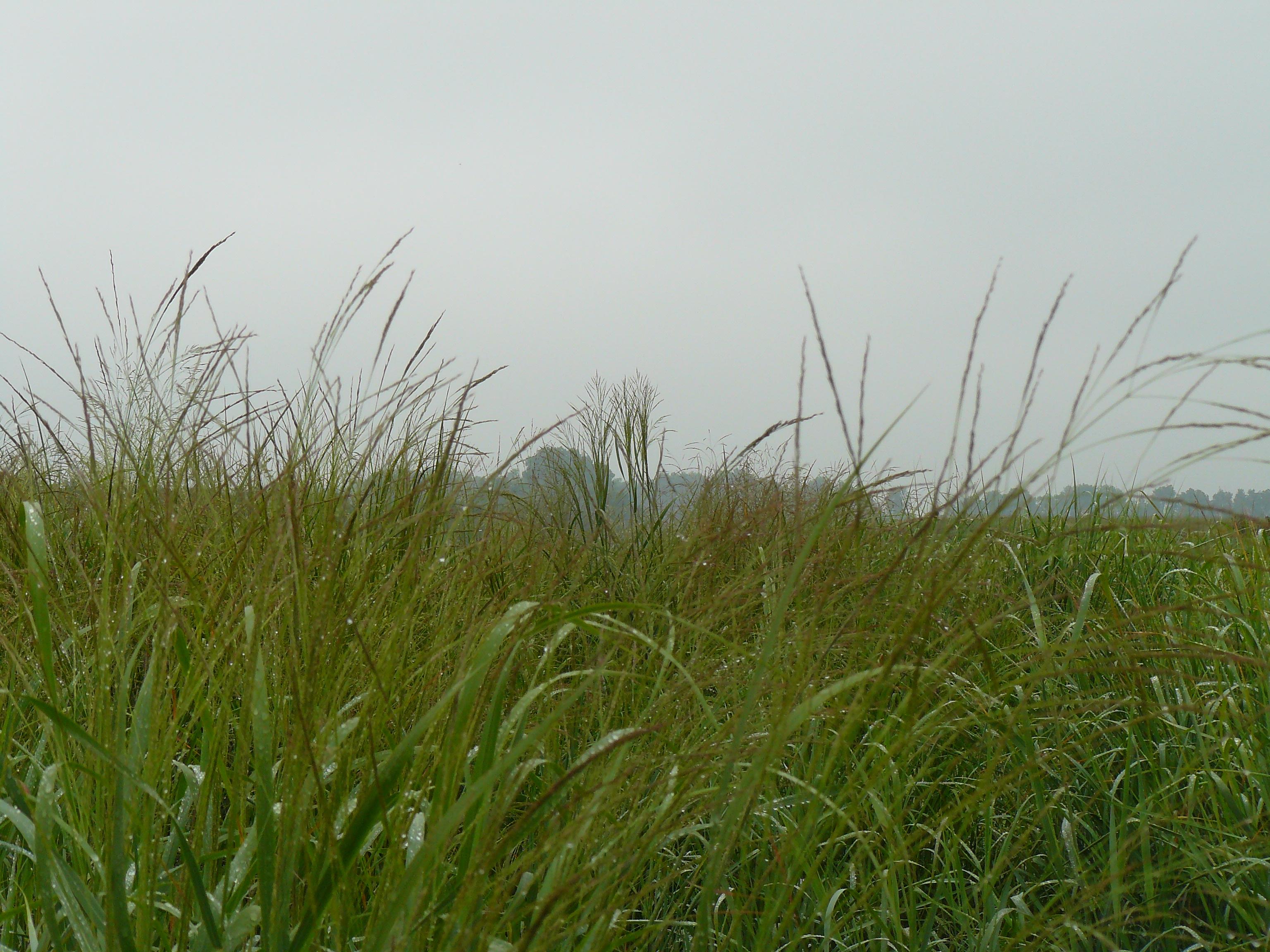 Switchgrass photo