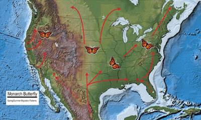Map of U.S showing monarch butterfly migration patterns