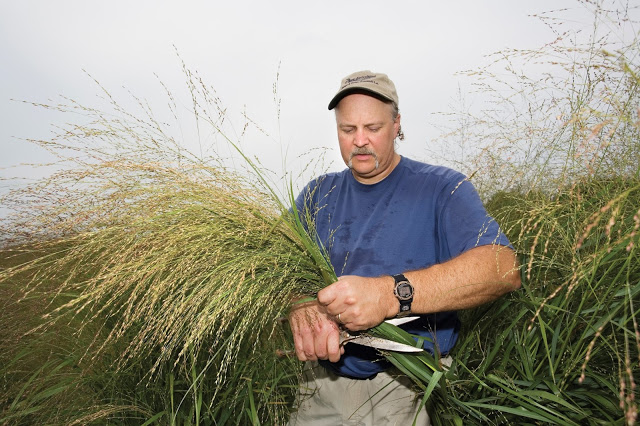 Dr. Michael Casler cutting grasses in the field