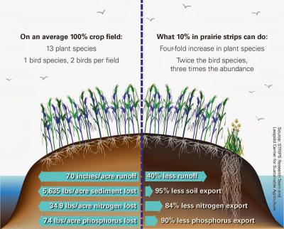 Graphic showing that 10% prairie strips results in less runoff, and less soil, nitrogen, and phosphorus export