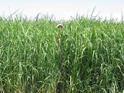 Man barely visible behind tall plants in field