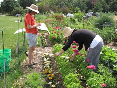 Volunteers measuring plant growth in garden